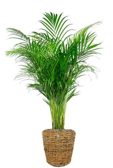 Areca plant in mand