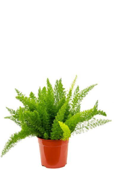 Asparagus densiflorus meyers kamerplant