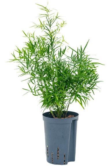 Asparagus falcatus hydrocultuur plant