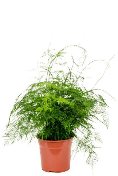 Asparagus plumoses plant
