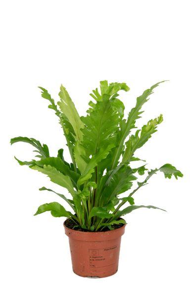 Asplenium-nindus-kamerplant