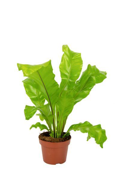 Asplenium-nindus-kamerplant 1