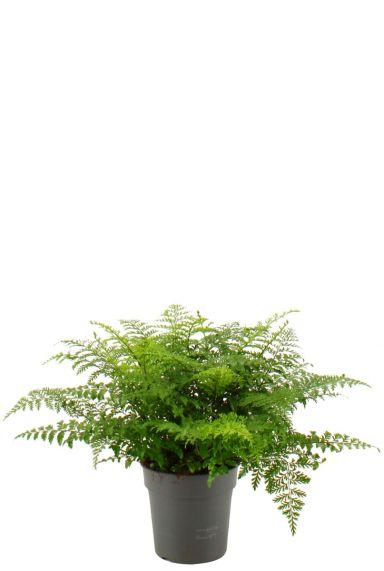 Asplenium-parvati-varen-kamerplant