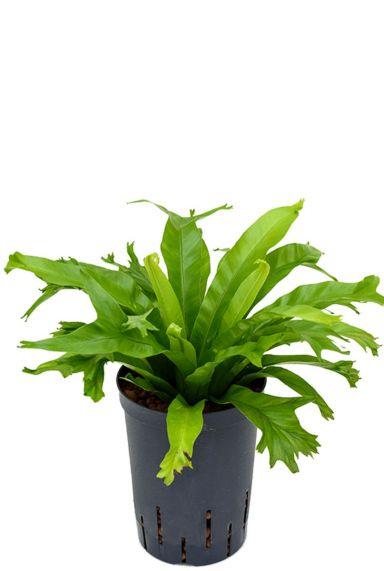 Asplenium amy hydrocultuur plant 1
