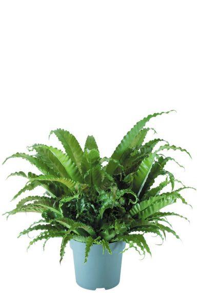 Asplenium antiquum varen plant