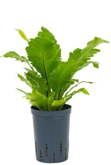 Asplenium fimbriatum hydrocultuur planten