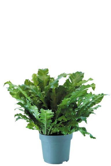 Asplenium nidus kamerplant 3