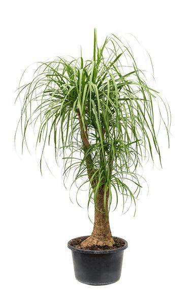 Beaucarnea-recurvate-online-kopen-160cm