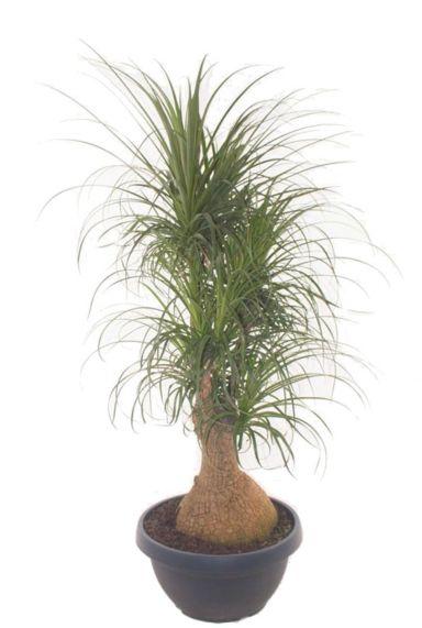 Beaucarnea recurvata grote kamerplant 1