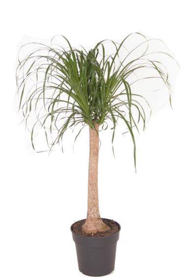 Beaucarnea stam kamerplant
