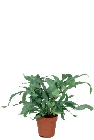 Blue-star-varen-kamerplanten