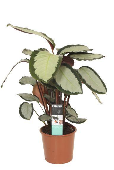 Calathea-picturata-pauwenplant-p17