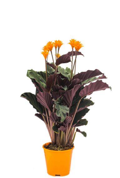 Calathea crocata plant