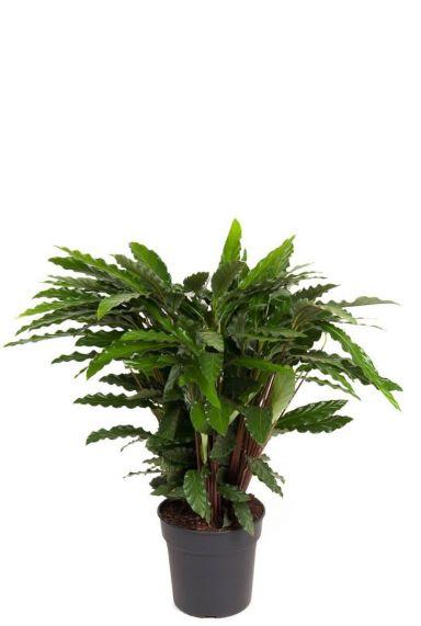 Calathea elgergrass kamerplant 1