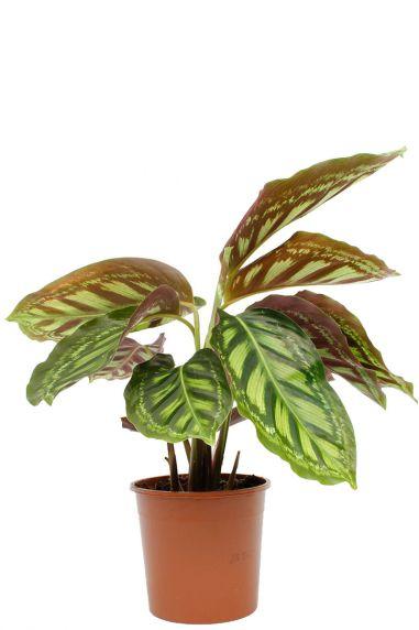 Calathea flamestar kamerplant