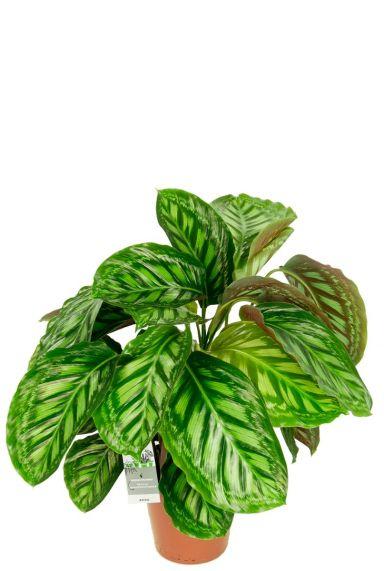 Calathea flamestar kamerplant 1
