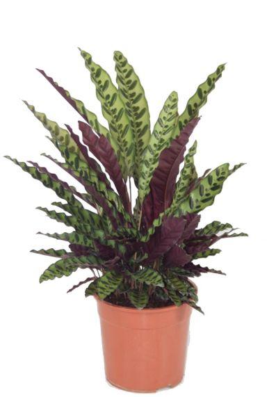 Calathea lancifolia pauwenplant
