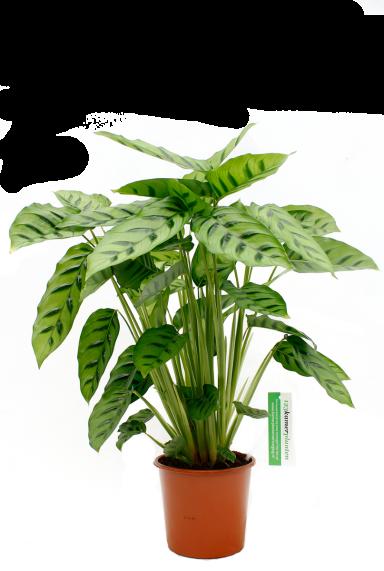 Calathea Leopardina kamerplant kopen via webshop