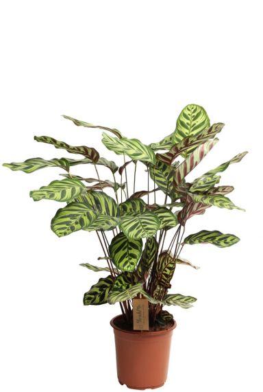 Calathea makoyana kamerplant 1