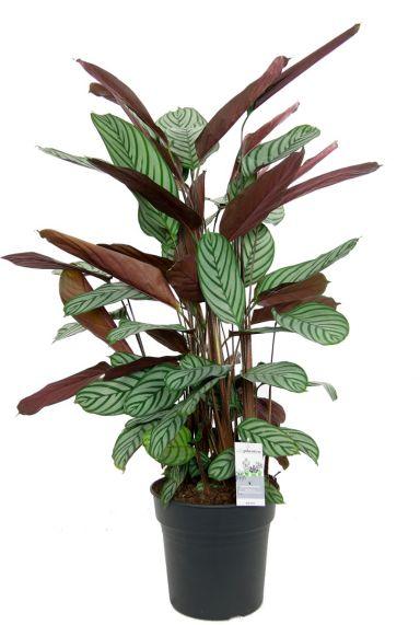 Calathea oppenheimiana kamerplant