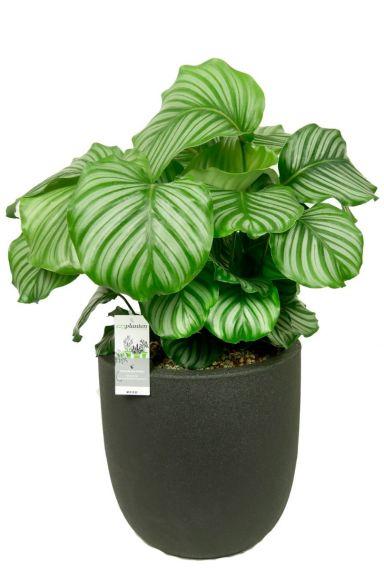 Calathea orbifolia in pot