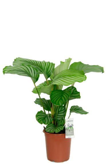 Calathea orbifolia kamerplant 4