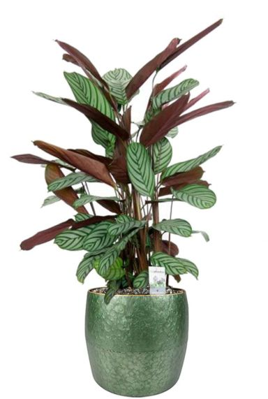 Calathea plant in pot
