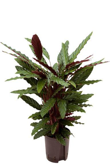 Calathea rufibarba wavestar hydro plant