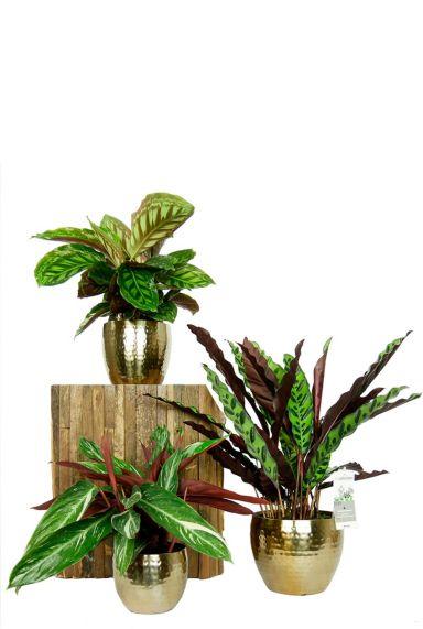 Calathea set kamerplanten