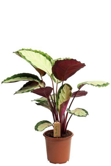 Calathea silvia kamerplant