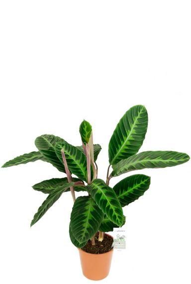 Calathea warscewiczii kamerplant 1 1