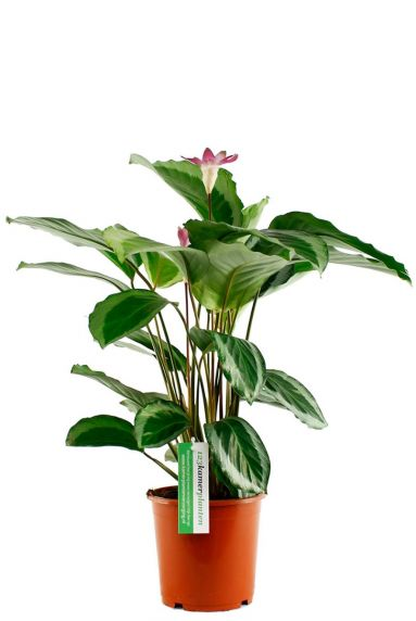 Calathea plant met bloemen