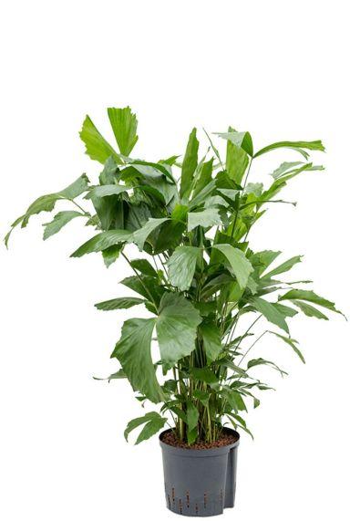 Caryota mitis hydrocultuur