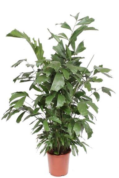 Caryota mitis kamerplant 2