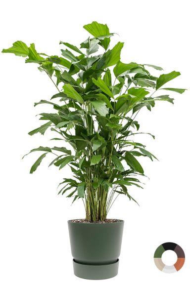 Caryota mitis palm in pot