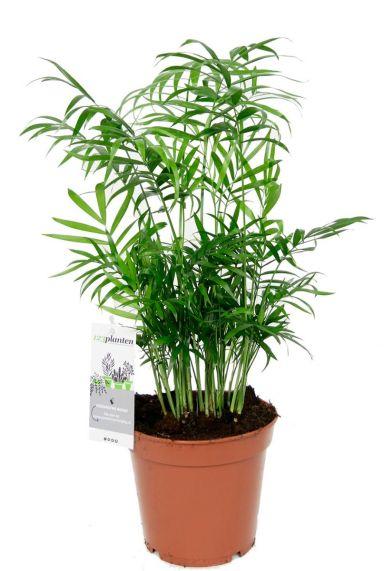 Chamaedorea kamerplant
