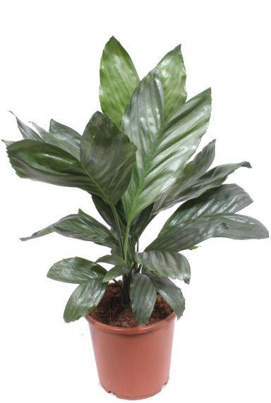 Chamaedorea metallica binnenplant