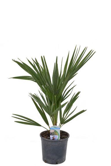 Chamaerops humilis palm