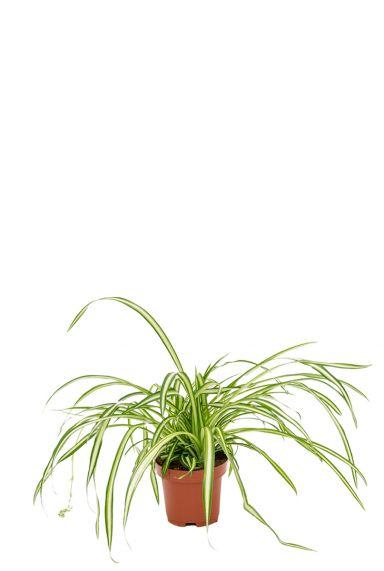 Chlorophytum-graslelie