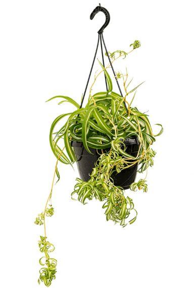 Chlorophytum bonnie kamerplant