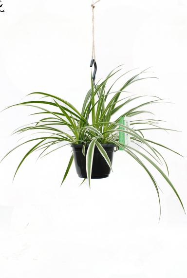 Mooie kamerplant of als hangplant