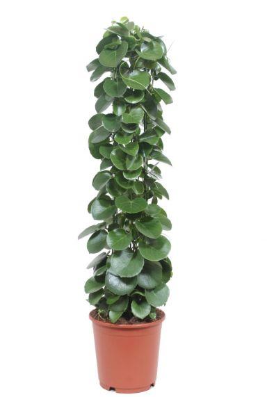 Cissus rotundifolia kamerplant 1