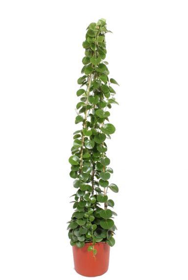 Cissus rotundifolia kamerplant 2