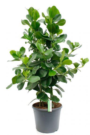 Clusia rosea mooie groene kamerplant