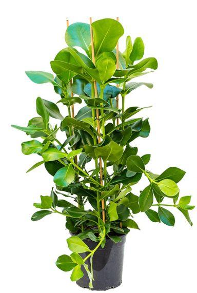 Clusia rosea plant