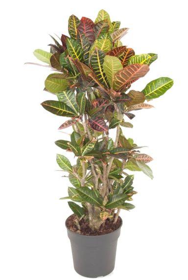 Croton Petra wonderstruik kamerplanten
