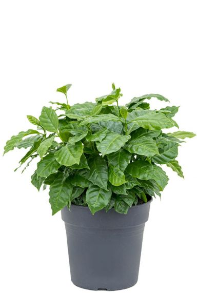 Coffea arabica kamerplant