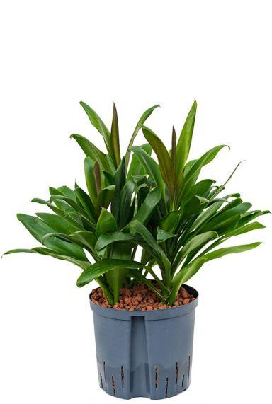 Cordyline glauca hydrocultuur plant
