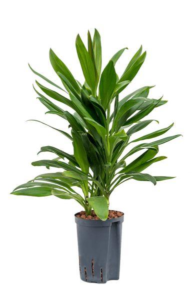 Cordyline glauca plant hydrocultuur