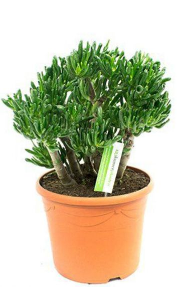 Crassula-horntree-jadeplant